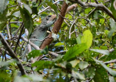 Iguana amazon rainforest