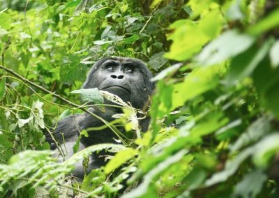 Gorilla Tracking in Bwindi
