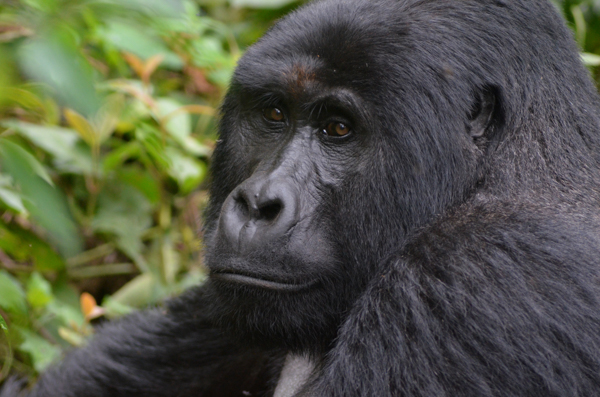 Tracking Gorillas in Bwindi Impenetrable Forest, Uganda