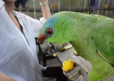 parrot in the amazon rainforest