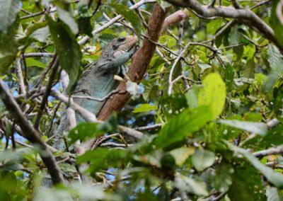 Iguana amazon rainforest