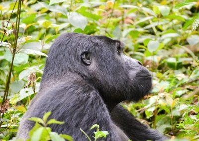 Uganda Mountain Gorilla