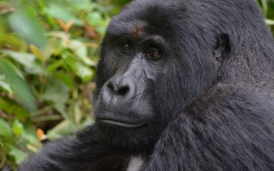Tracking Gorillas in Bwindi Impenetrable Forest, Uganda