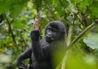 Gorilla Tracking in Uganda
