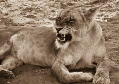 Lions in Zambia