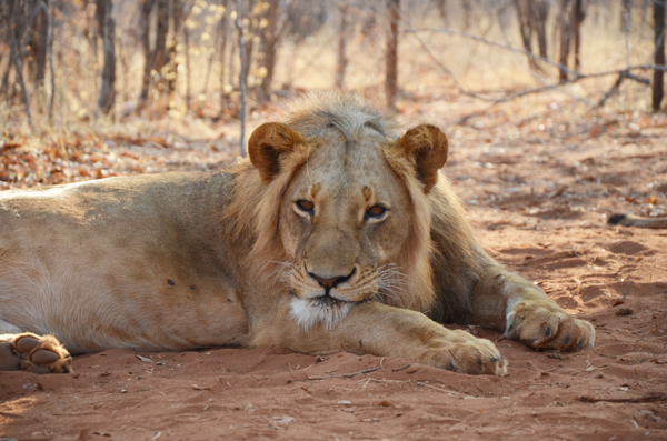 Photo Gallery – Lion & Cheetah Encounter in Zambia
