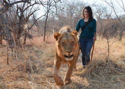 lion encounter zambia