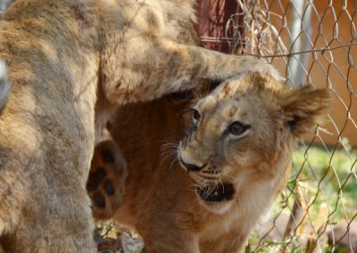 lion cubs zambia